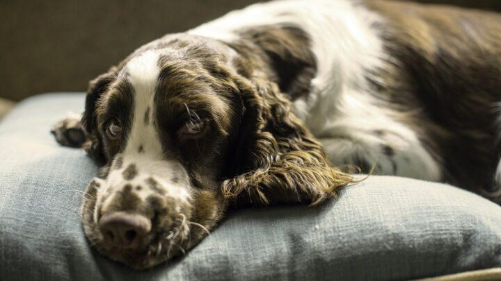 Hund auf Hundebett